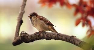 sparrow-9950_960_720